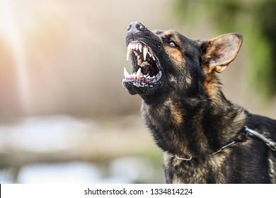 Aggressive dog shows dangerous teeth. German sheperd attack. Head detail Little blur panning move.