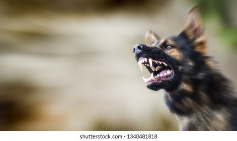 Aggressive dog shows dangerous teeth. German sheperd attack head detail. Dogs close up banner or panorama.