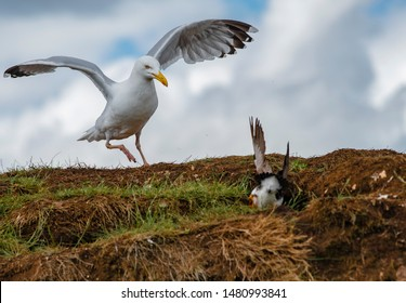 Aggressive and fierce looking herring gull, Larus argentatus, attempting to rob a puffin of its fish brought to feed its chicks.  Puffin diving quickly into its nesting burrow.  Farne Islands UK, June
