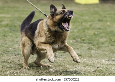 Aggressive german shepherd