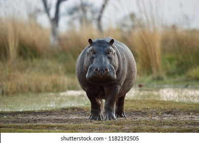 Aggressive hippo male attacking the car. Huge hippo male intimidating the opponent. Wild animal in the nature habitat. African wildlife. This is Africa. Hippopotamus amphibius.