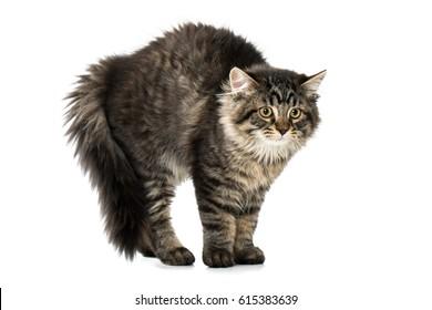 Aggressive kitten makes humpback