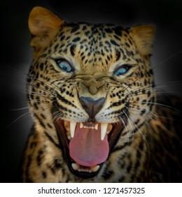 Aggressive Leopard Roars loudly