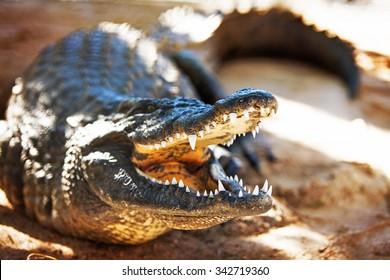 Aggressive Nile crocodile (Crocodylus niloticus) with mouth open