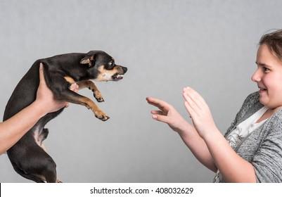 Aggressive Pinscher dog