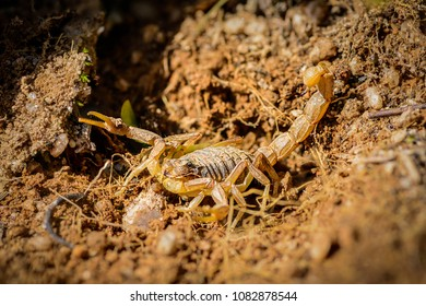 An aggressive scorpion