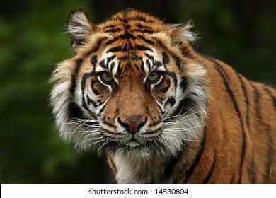 Aggressive Sumatran Tiger staring directly at you!