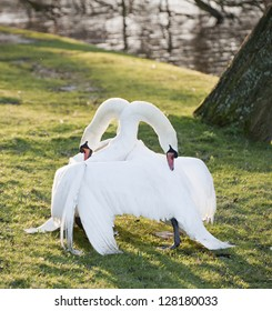 Aggressive and tender mute swan behaviour during mating ritual