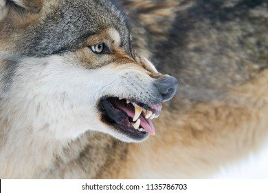 Aggressive wolf shows teeths