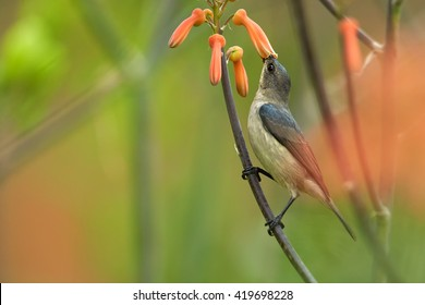 Agile, african nectar-eating bird,  Mouse-colored Sunbird, Cyanomitra veroxii, male feeding on nectar, perched on stem among blurred red aloe flowers. KwaZulu Natal, South Africa.
