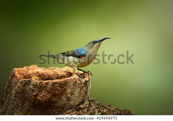 Agile, african nectar-eating bird,  Mouse-colored Sunbird, Cyanomitra veroxii perched on old stump against abstract green background. KwaZulu Natal province, South Africa.