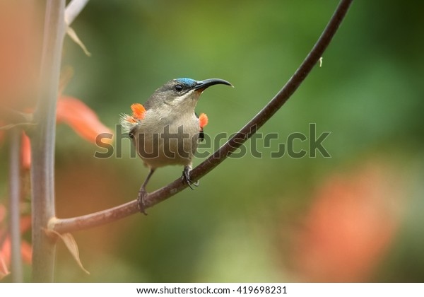 Agile, african nectar-eating bird,  Mouse-colored Sunbird, Cyanomitra veroxii, competing male showing red feathers, perched on stem against blurred red flowers background. KwaZulu Natal, South Africa.