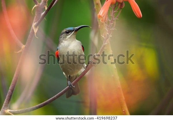 Agile, african nectar-eating bird,  Mouse-colored Sunbird, Cyanomitra veroxii, competing male showing red feathers, perched on stem among blurred red aloe flowers. KwaZulu Natal, South Africa.