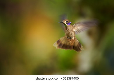 Agile Brown Violet-ear Colibri delphine hummingbirds defending its territory showing rainbow throat and violet feathers like ears. Blurred tropical yellow and green background. Ecuador.