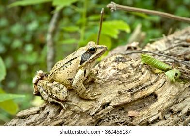 agile frog (rana dalmatina) on the forest floor, near cetina river, city of omis, croatia