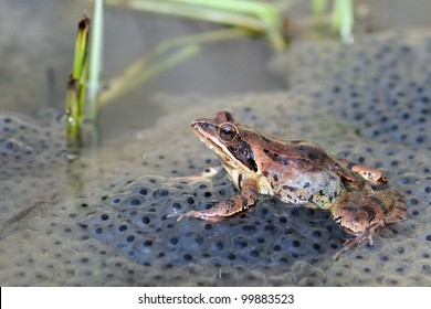 Agile frog (Rana dalmatina) on eggs