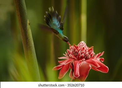 Agile longtail wild green hummingbird Green Hermit Phaethornis guy feeding from Red Torch Ginger Flower in acrobatic position. Wild hummingbird in the Main Ridge forest. Trinidad & Tobago.
