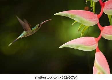 Agile longtail wild green hummingbird Green Hermit Phaethornis guy hovering next to pink heliconia flower. Very dark green background. Wild hummingbird in the Main Ridge forest. Trinidad & Tobago.