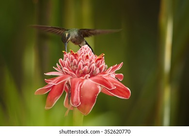 Agile longtail wild green hummingbird Green Hermit Phaethornis guy hovering over Red Torch Ginger Flower. Dark green blurry plants in background. Wild bird in the forest. Nice bokeh.