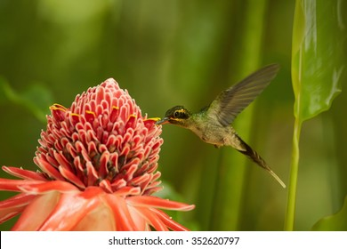Agile longtail wild green hummingbird Green Hermit Phaethornis guy feeding from Red Torch Ginger Flower. Dark green blurry plants in background. Wild bird in the forest.