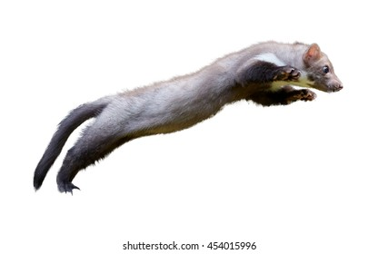 Agile predator, beech marten, Martes foina, in jump, isolated on white background.