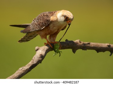 Agile small raptor, Red-footed Falcon, Falco vespertinus, female, feeding on a big green grasshopper, isolated against green background, perched on a branch. Hortobagy, Hungary, Europe.