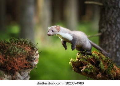 Agile Stone Marten, Martes foina, tiny forest predator jumping over gap among two spruce trunks. Spring time in spruce forest. Low angle photo, blurred nature background. Europe.