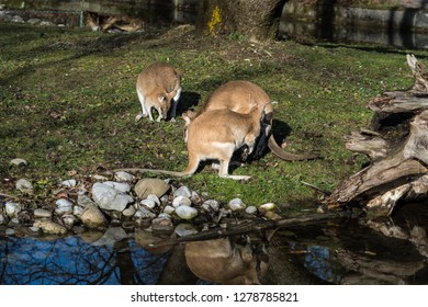The agile wallaby (Macropus agilis) also known as the sandy wallaby, is a species of wallaby found in northern Australia and New Guinea.