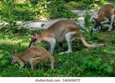 The agile wallaby, Macropus agilis also known as the sandy wallaby
