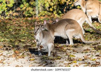 Agile wallaby (Macropus agilis) in the zoo