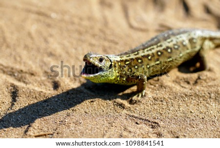aa4ad8dc36 The sand lizard (Lacerta agilis) is a lacertidlizard distributed across most  of Europe