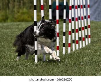 Agility Dog Doing Weave Poles