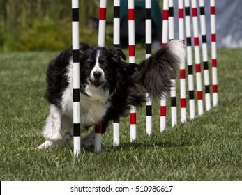 Agility Dog Working Weave Poles