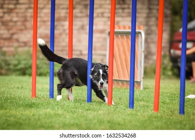 Agility slalom and border collie. Black and white Border collie is running slalom on czech agility competition slalom. agility competition in dog park Ratenice