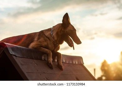 Agility training of a beautiful Malinois Belgian Shepherd dog on an a-frame rooftop on a sunny day in the sunset.
