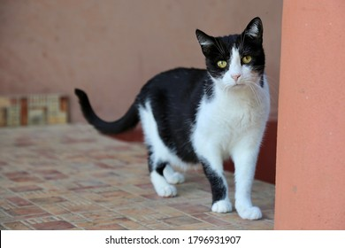 Aging black and white cat with spotted eyes sitting in all fours on the terrace, looking at the camera