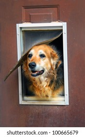 Aging dog and aging home.  Dog peeks out of his run down home complete with flap and window.  Door need painting.