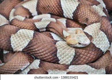 (Agkistrodon contortrix) copperhead snake close up
