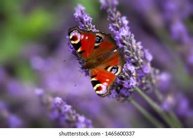 Aglais io, common name Peacock Butterfly, on lavender flowers