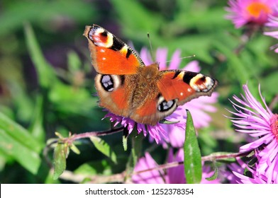 Aglais io, the European peacock, more commonly known simply as the peacock butterfly.