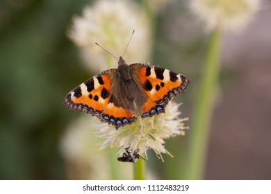 Aglais urticae butterfly and beetle on the flowers of onion in the garden, village in Russian region, blooming