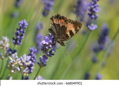 Aglais urticae. Kleine vos. Kleiner Fuchs. Petite  tortue. Vanesse de l'ortie. Papallona de les ortigues. Nymphalis urticae. Small Tortoiseshell  on lavender flower.