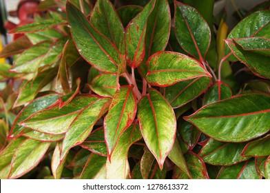 Aglaonema commutatum siam aurora green and  red  foliage background
