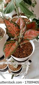 Aglaonema Dud Anjani - Indoor Plants