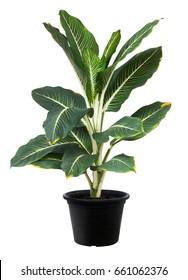 Aglaonema, Green leaf tree plant fresh nature, white background
