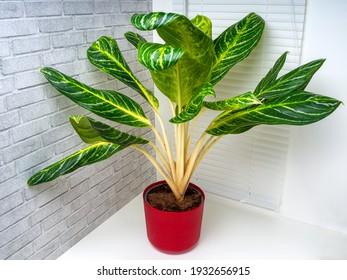 Aglaonema Kay lime is an evergreen plant with large green leaves with white and yellow ornaments