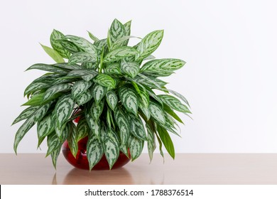 Aglaonema Maria houseplant cuttings in a red glass vase in front of a white wall, Chinese Evergreen, house plant, indoor plant