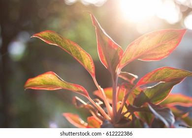 Aglaonema Plant reaching for sunlight , growing towards the light