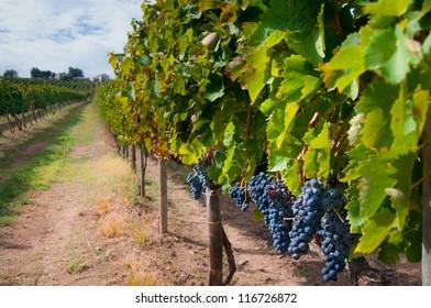 Aglianico vineyard during harvest in Campania, Italy. Aglianico is used to make Aglianico as well as Taurasi wines.