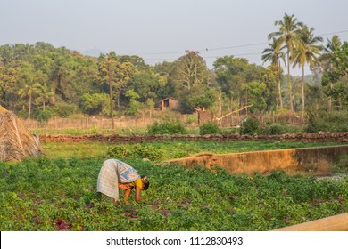 Agonda, Goa / India - 01 28 2018: A woman working in the field on a hot day in south Goa.